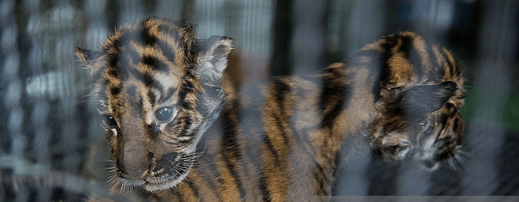 Newborn cubs at Tiger Temple, already separated from their mother and put in an enclosure