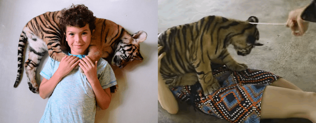 Smallest tigers being posed and hit
