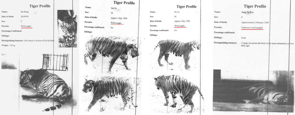 Evidence that Tiger Temple used illegally caught tigers.