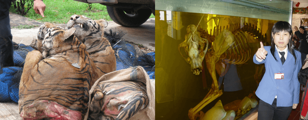 Tiger carcasses seized by Thai authorities, and a tiger skeleton soaking in rice wine