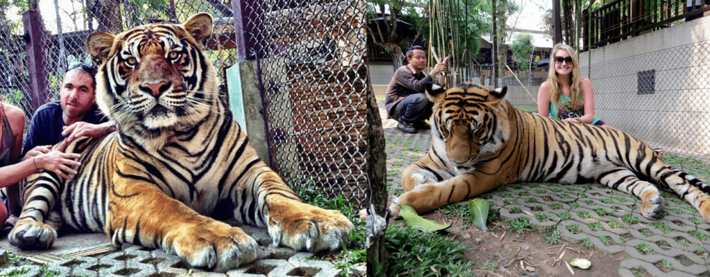 Big tigers being posed and bamboo sticks at the ready