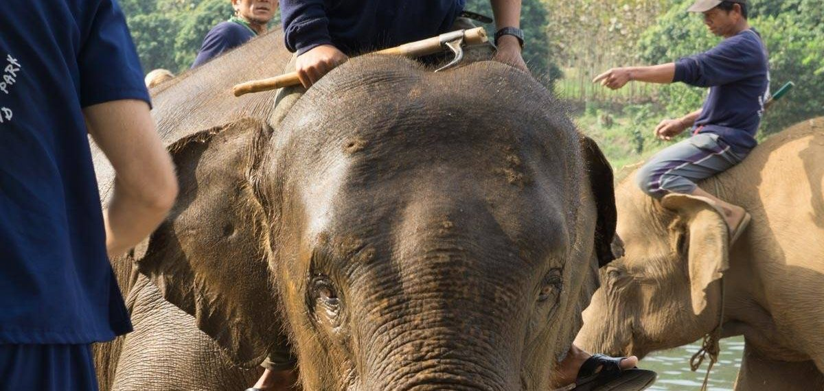 Baan Chang Elephant Park elephant with visible bull hook scars and markings. ?: 100 Ways To Change The World
