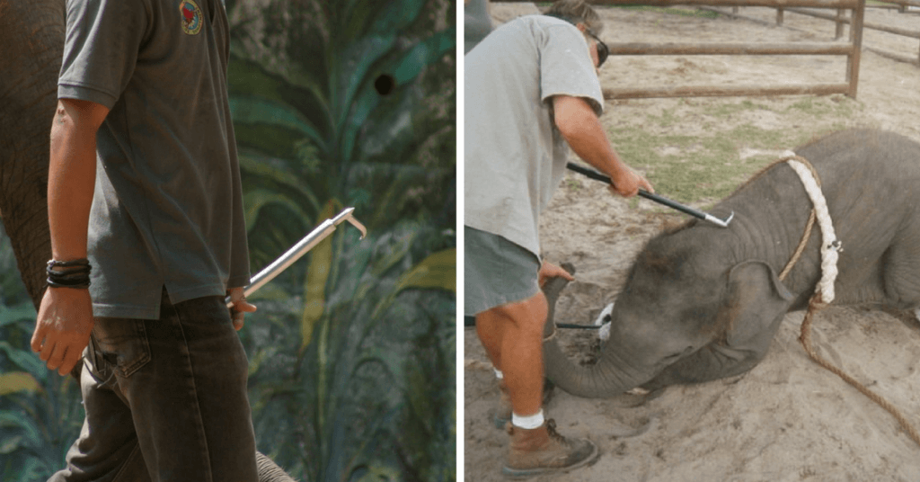 Left: bullhook in a zoo. Right: Ringling Circus version of the Phajaan in the US with a bullhook.