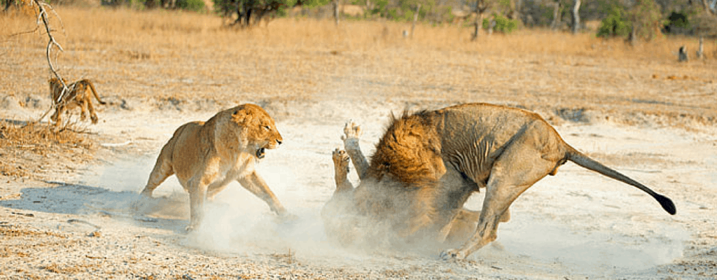 Mother and aunt defend a cub from the new alpha male.