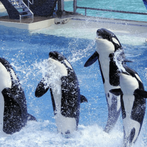 Orcas performing in sync at SeaWorld