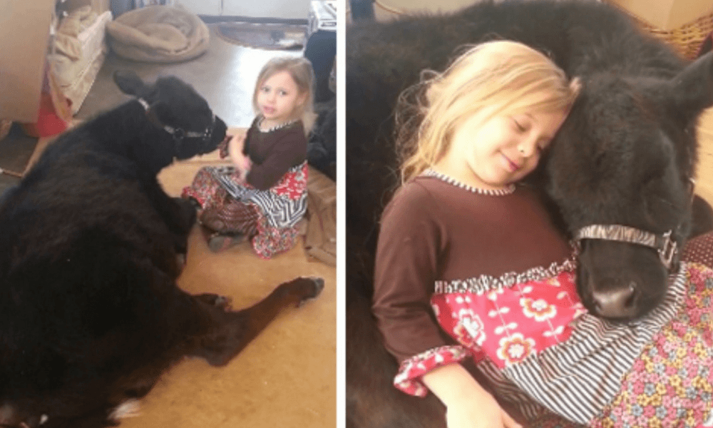 The little girl who convinced her mum to stop eating beef by letting their cow into the house 🐮💕
