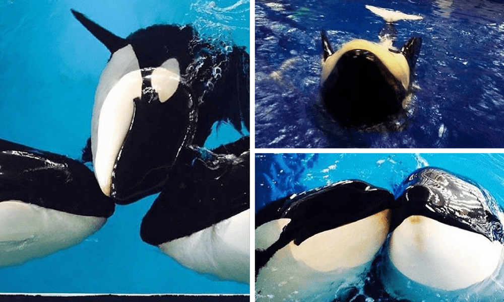 Photos of unidentified orcas are being posted on Instagram from Chimelong Ocean.