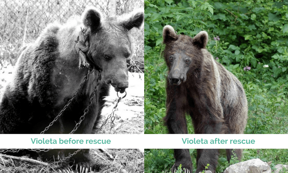 Violeta before and after being rescued by The Dancing Bears Park