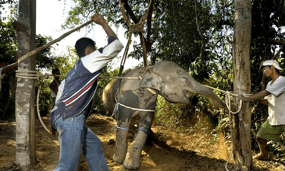 An elephant calf in the phajaan